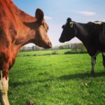 Two Cows in the field