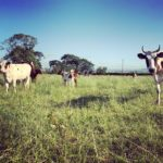Mossgiel Cows outside in the Organic Pasture