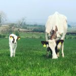 Cow with its Mum
