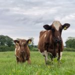 Cow with her Calf