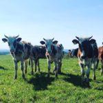 Trio of Cows