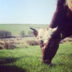 Cow eating Organic Grass