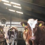 Cows in the Byre