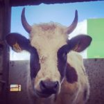 Cow in the Byre