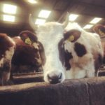 Cow with Horns in the Byre