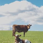 Cow and Calf together