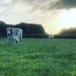 Calf having the best start - Mother's Milk