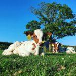 Cows lying down in the sun