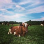 Chewing the cud in the Organic Pasture