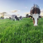 Natural food for the Mossgiel Cows
