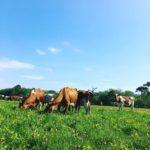Blue skies, happy Cows