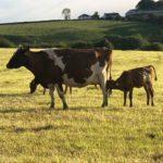 Cows - Calf At Foot