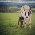 Cows - Calves At Foot