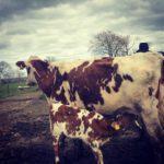 Cows - Keeping Calves At Foot