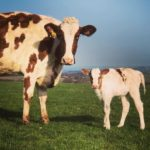 Cows - Mother With Calf At Foot
