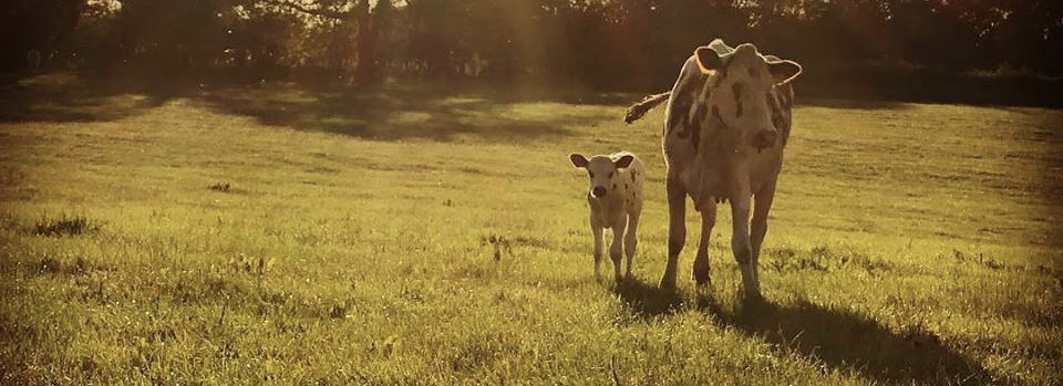 Mossgiel Organic Farm lets their Cows keep their Calves until they are weaned