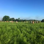 Cows eating the Organic Grass in the Pasture