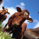 Nosy Cows posing for the Camera