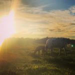 Cow Calf and Sunset