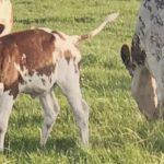 Calf-at-Foot