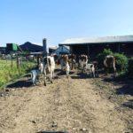 Cows With Calves