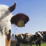 Cows from Mossgiel Organic Farm are not de-horned